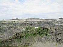 Vazon Bay at low tide where peat represents woodland drowned by the rising sea after 5000 BC.